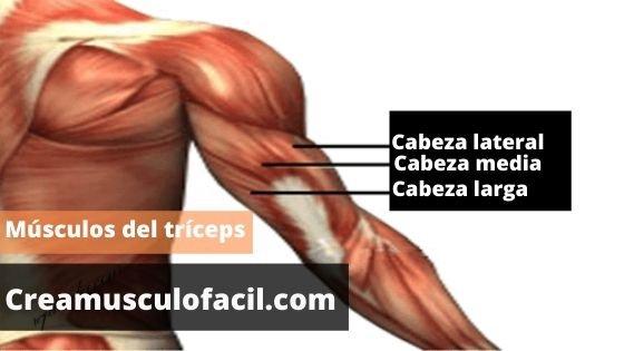 Músculos del brazo implicados en los jalones de tríceps