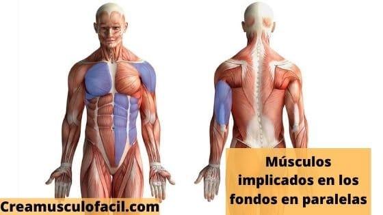 Músculos implicados en los fondos en paralelas