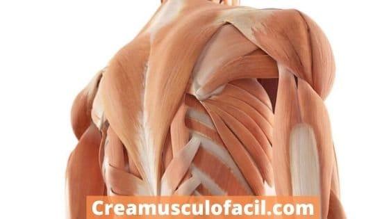 Músculos implicados en la elevación trasera en polea