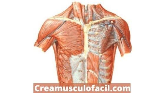 músculos implicados en la máquina contractora o peck deck